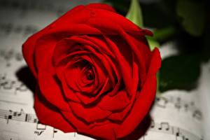 Фотография Розы Вблизи Ноты Красный Цветы