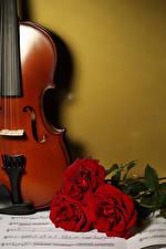 Фото Розы Ноты Втроем Бордовая цветок