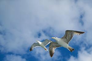 Обои для рабочего стола Небо Птицы Чайка Облачно 2 Летит Вид снизу Животные