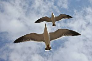 Фотографии Небо Чайка Птицы Облачно Вдвоем Вид снизу Летящий Животные
