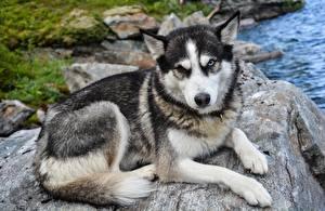 Картинки Камень Собаки Хаски Смотрит Лапы Грусть