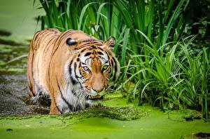 Фотография Тигры Большие кошки Вода Трава Морда Смотрит Животные
