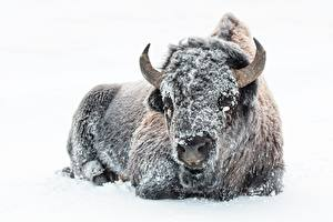 Фото Зимние Быки Белый фон Снег Рога Животные