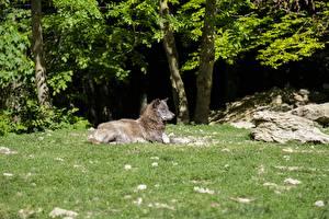 Картинки Волки Трава