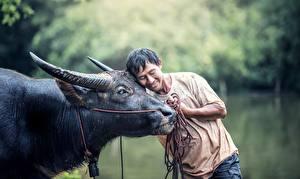 Фотографии Азиаты Мужчины Быки Рога Обнимает Животные