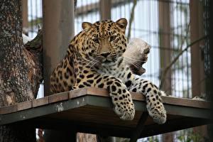 Картинки Большие кошки Леопарды Лапы Смотрит