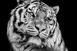Фотография Большие кошки Тигры Черный фон Морда Белые Животные