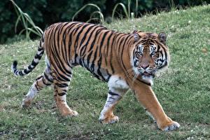 Фотография Большие кошки Тигр Траве Смотрят Лап