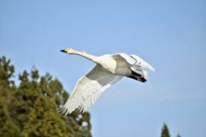 Фотография Птицы Гуси 2 Белый Полет животное