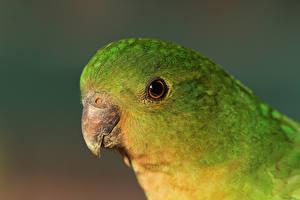 Фото Птицы Попугаи Клюв Голова Животные