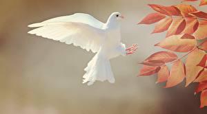 Фото Птица Голуби Осень Лист Белых Летит Животные