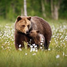 Фотографии Медведи Бурые Медведи Детеныши Две Трава животное