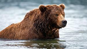 Картинка Медведи Гризли Вода Мокрые Животные