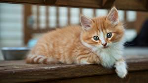 Фотографии Кошки Взгляд Котята Животные