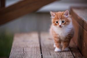 Картинки Коты Котята Рыжий