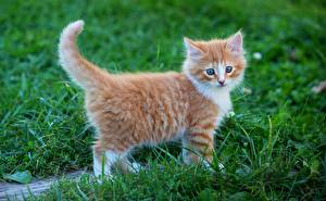 Картинки Коты Котята Рыжие Трава животное