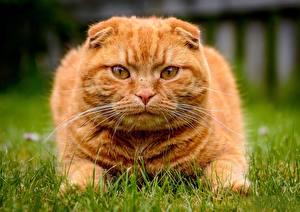 Картинка Коты Шотландская вислоухая Смотрит Рыжий Трава Морда Усы Вибриссы Животные