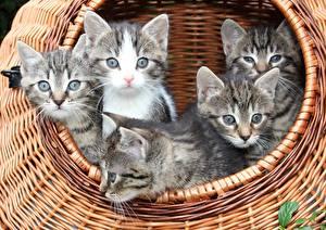 Картинка Коты Корзина Котята Смотрит Животные