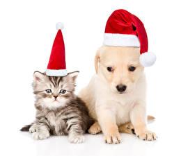 Картинка Рождество Собаки Кошки Белый фон Двое Котята Шапки Ретривер Щенок Животные