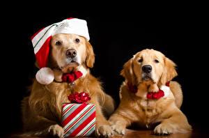 Фотография Рождество Собаки Золотистый ретривер Черный фон Вдвоем Шапки Подарки Смотрит Животные