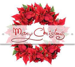 Картинки Новый год Молочай Белый фон Английский Красный Цветы