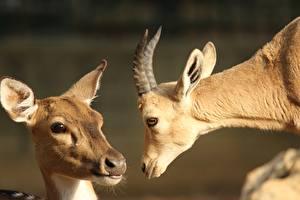 Обои Олени Крупным планом Коза козел Головы Смотрит Рога Две Животные