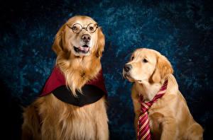 Фотография Собаки Золотистый ретривер Два Очках Галстук Животные