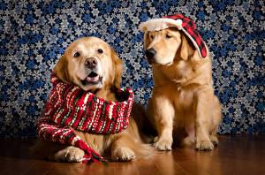Картинка Собака Золотистый ретривер 2 Шапка Шарф животное