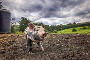 Фото Домашняя свинья Земля Животные