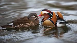 Картинки Утки Вода 2 Mandarin Животные