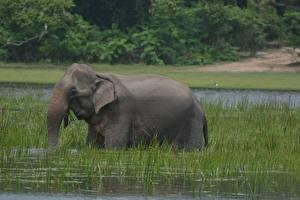 Картинка Слоны Вода Трава Животные