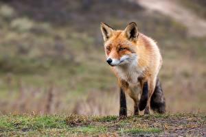Фотография Лисица животное