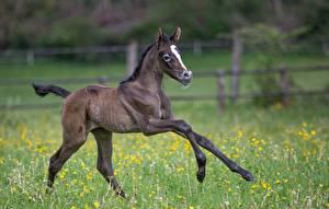 Картинка Лошадь Детеныши Траве Бег Животные
