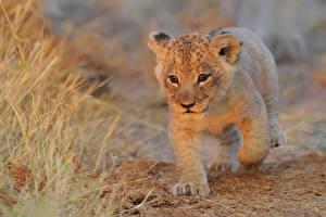 Обои Львы Детеныши Смотрит