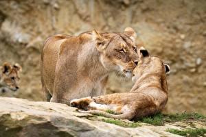 Обои Львы Львица Детеныши