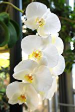 Фотография Орхидея Крупным планом Белые цветок