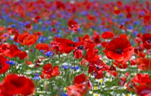 Картинка Маки Поля Вблизи Цветы
