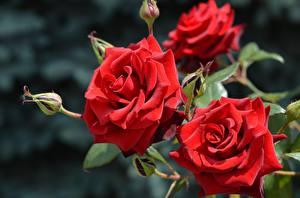 Фотографии Розы Вблизи Красный Цветы
