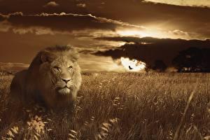 Фото Рассвет и закат Большие кошки Лев Траве Смотрит животное