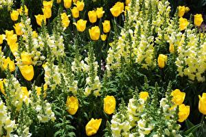Картинки Тюльпаны Антирринум Вблизи Цветы