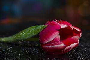 Картинки Тюльпаны Крупным планом Капли Цветы