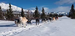 Обои Зима Горы Собаки Снег Ель Бег Хаски Тропинка Сани Животные