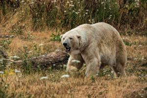 Картинки Медведи Белые Медведи Траве Животные