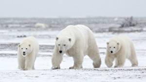 Фото Медведи Северный Трое 3 Животные