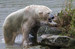 Картинка Медведи Камень Северный Животные