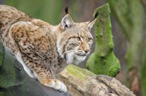 Фото Большие кошки Рысь Лап Взгляд животное