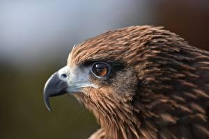 Обои Птицы Голова Клюв Смотрит Black kite