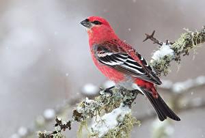 Картинки Птицы Вблизи Ветки Pine grosbeak Животные