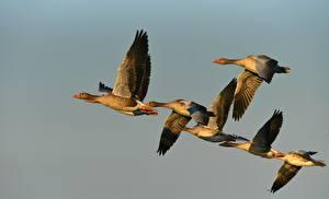 Картинка Птицы Гуси Летящий Животные