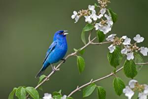 Фотография Птицы Ветвь Синий Indigo bunting